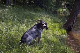 bluetick coonhound drool five great low maintenance dog breeds pethelpful