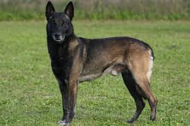 belgian shepherd los angeles lymphosarcoma in dogs symptoms causes diagnosis treatment