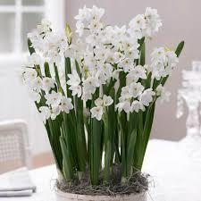 paperwhite flowers ziva longfield gardens