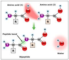 and label a diagram of a peptide bond between two amino acids ib
