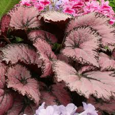 begonia flower begonia pink chagne begonia plants flower plants flower