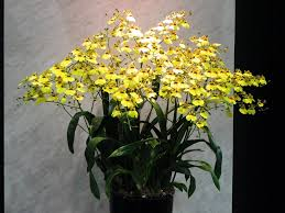 oncidium orchid what is your birth orchid september oncidium