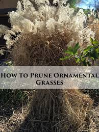 while you can wait for late winter to cut back ornamental grasses