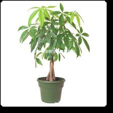 buy pachira money tree plant buy 6000 nursery plants n