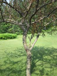 crab apple trees difficulty in northern michigan ask an