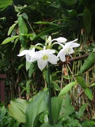 Fragrant Plants Mahachok U0027 Lovely Tropical Bulb Plants In Thailand With Fragrant