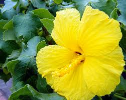 What Is The Meaning Of The Hibiscus Flower - hawaii state flower pua aloalo or yellow hibiscus