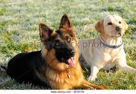 australian shepherd or german shepherd labrador german shepherd stock photos u0026 labrador german shepherd