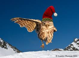owl christmas a christmas owl photography