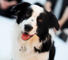 incrocio border collie x australian shepherd smart pup australian shepherd border collie cross doggy dogg