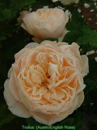 roses online 2040 best roses images on beautiful flowers david