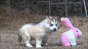 Siberian Husky Meme - seongju siberian husky kennel s siberian husky baby of korea