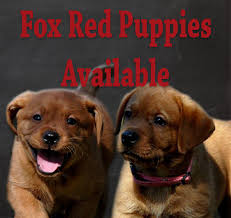 fox red labradors breeders puppies labs labrador retrievers puppy