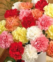 wholesale carnations wholesale carnations 48longstems