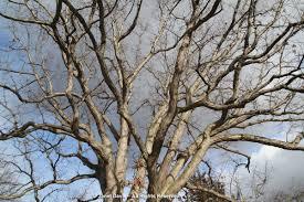 White Oak Tree Bark Winter Bark U0026 Bough A Valentine To Trees Janet Davis Explores