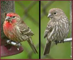 South Dakota birds images House finch south dakota birds and birding JPG