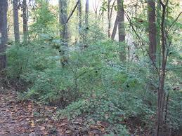 pennsylvania native plants list japanese maple the sanguine root