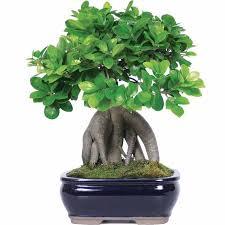 brussel s bonsai ginseng grafted ficus bonsai tree walmart