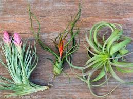 plant of the month club tilly of the month club air plant delivery air plant design studio