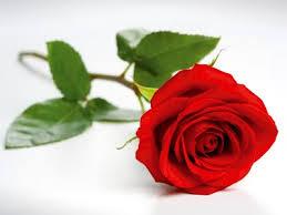 valentine rose jigsaw puzzle jigzone com