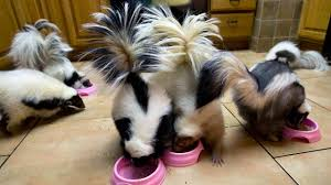 keeping pet skunks care and reasons to have skunks as pets dogs