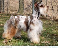 australian shepherd funny confetti australian shepherd dog pictures u0026 videos funny cute