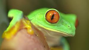 the mystery of the eyed tree frog
