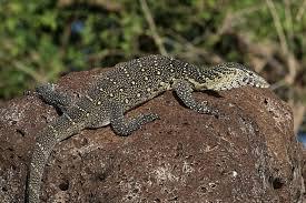 Seeking Lizard Episode Nile Monitor Kratts Wiki Fandom Powered By Wikia