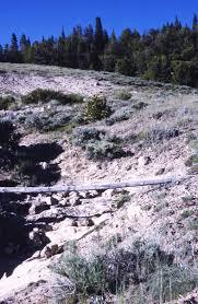 native plants of colorado colorado tansyaster