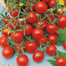 ladybug hybrid tomato seeds from park seed