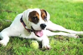 dozer u2013 virginia u2013 adopted u2013 deaf dogs rock