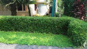 Teh Tehan jual pohon teh tehan untuk pagar jual tanaman pagar hidup jual