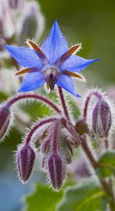 edible blue flowers edible flowers doreen shababy