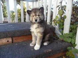 australian shepherd husky mix 109 best dream dogs images on pinterest animals puppies and dogs