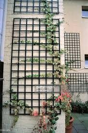 Support For Climbing Plants - parthenocissus tricuspidata climbing plant on trellis against