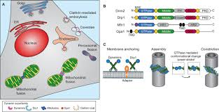 caspase 9 has a nonapoptotic function in xenopus embryonic