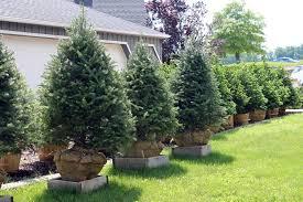 landscaping pine tree barn