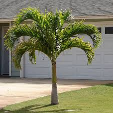 christmas palm trees for sale fast growing trees com