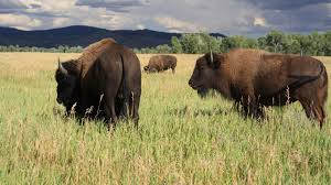 Wyoming wildlife tours images Wildlife tours jackson hole wy central reservations jpg