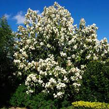 buy your magnolia grandiflora tree today best for quality
