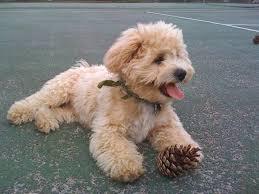 shichon haircuts lillybits shichon puppies