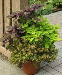 114 best leafy ornamentals images on plants bulbs and