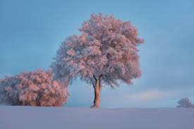 frosted trees free stock photos of pix