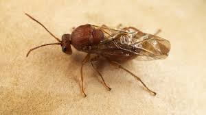 what gall the crazy cribs of parasitic wasps deep look kqed