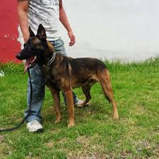belgian malinois size at 6 months recently sold protection dogs high class k9 protection dogshigh