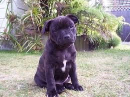 american pitbull terrier qualities carthageagriculture shaffshire bull terrier