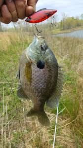lipless crankbait bluegill on lipless crankbait other fish species bass fishing