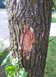 Emerald Ash Borer Map Weathering The Emerald Ash Borer Storm In Wisconsin Wiscontext
