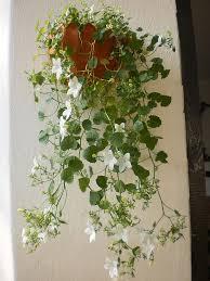 plants u0026 flowers trailing campanula