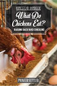 what do chickens eat chicken feed raising backyard chickens